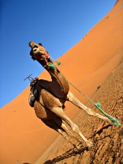 Camel in the desert of Erg Chebbi, Morocco.